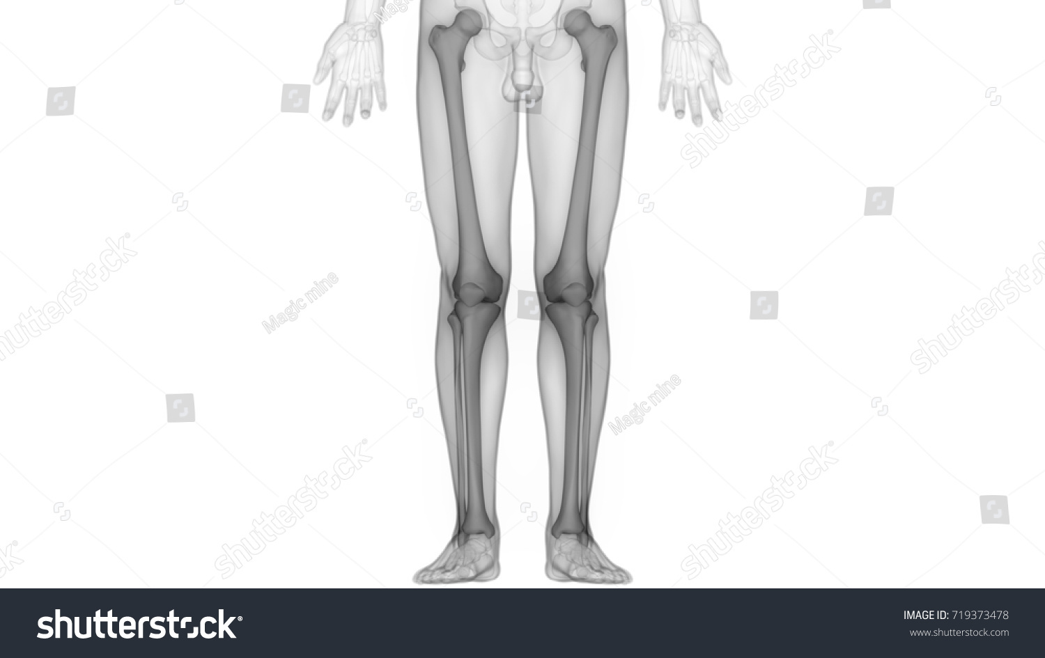 Human Skeleton Bones Anatomy Femur Fibula Stock Illustration ...
