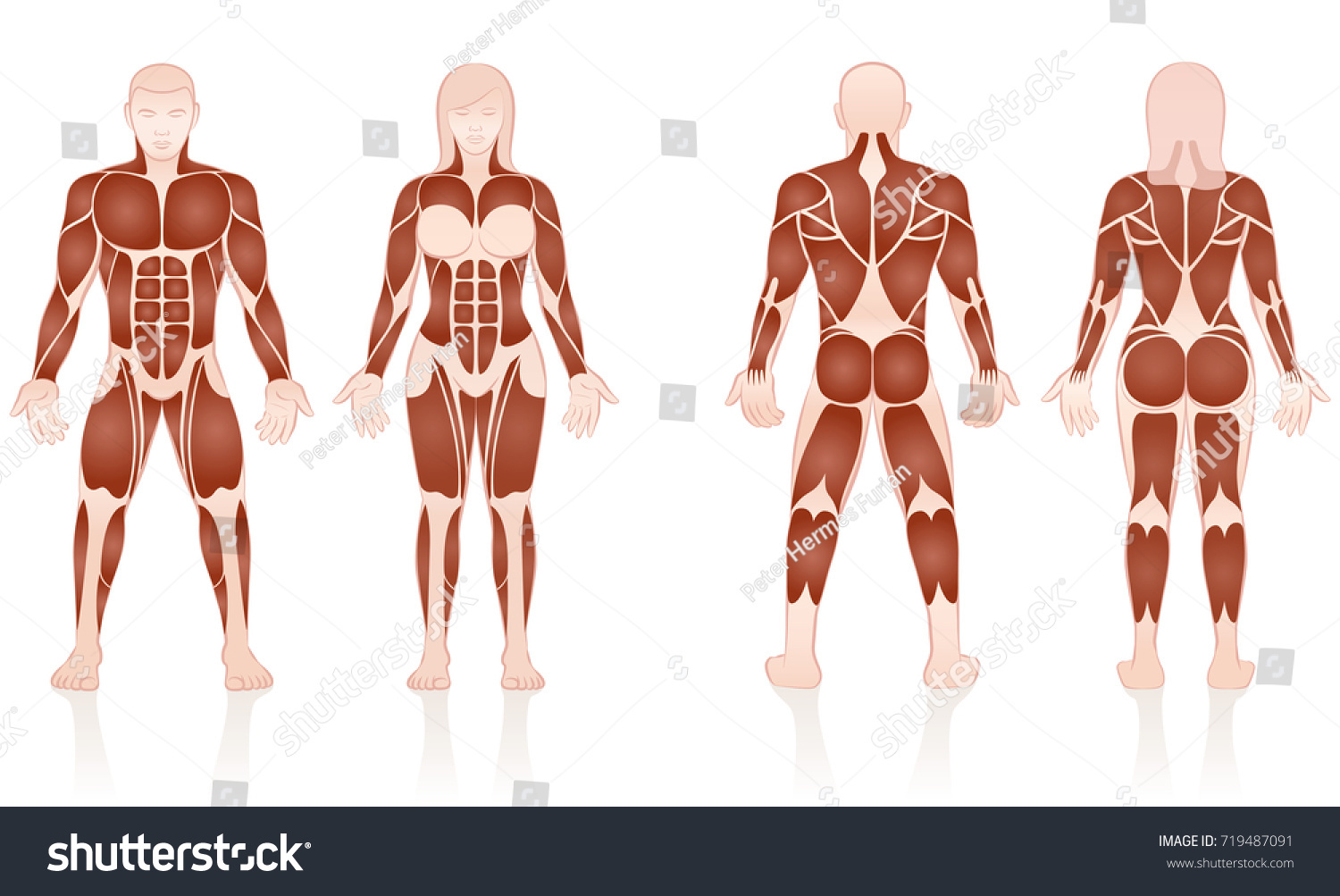 Male Female Muscles Large Muscle Groups Stock Vector (Royalty Free ...