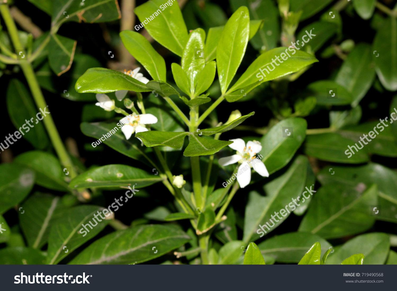 Choisya Ternata Mexican Orange Mock Orange Aromatic Evergreen