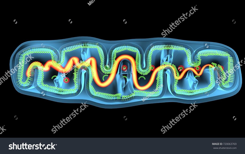 Anatomy of mitochondria