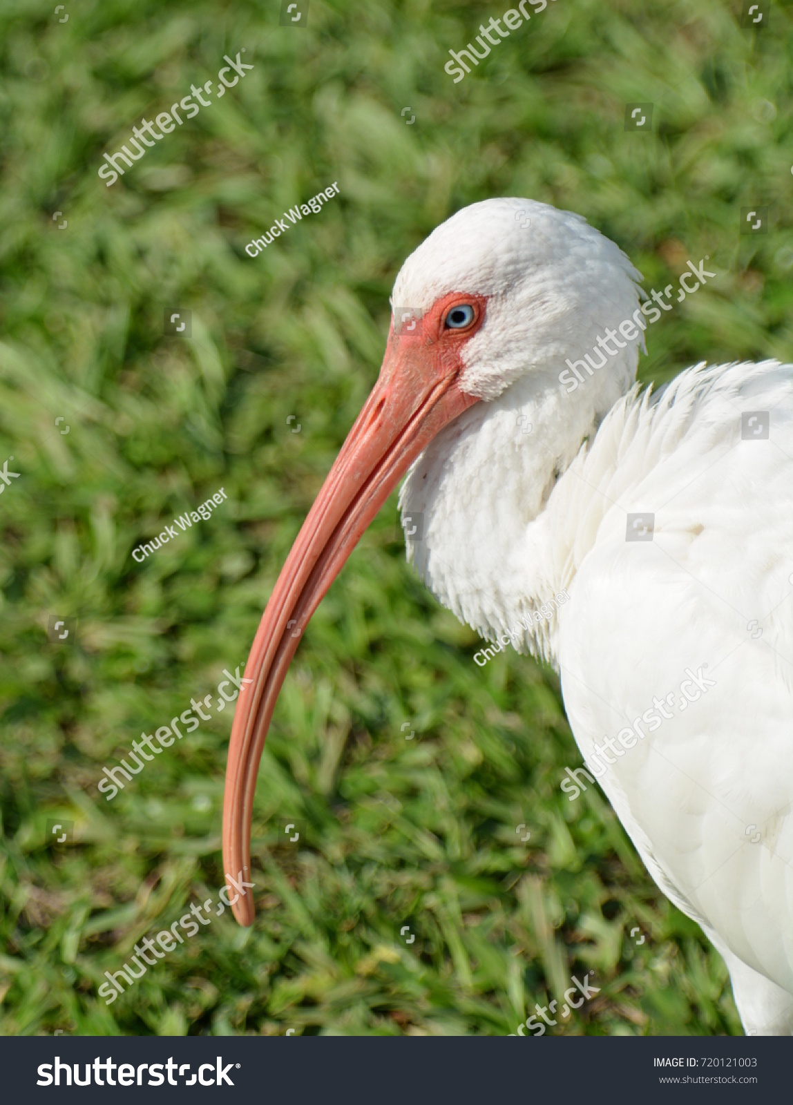 Close image american white ibis bird stock photo 720121003 close up image of a american white ibis bird eudocimus albusagainst buycottarizona Choice Image