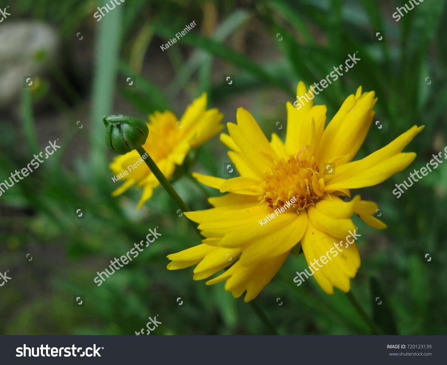 Yellow Tick Weed Flower Stock Photo Edit Now 720123139 Shutterstock