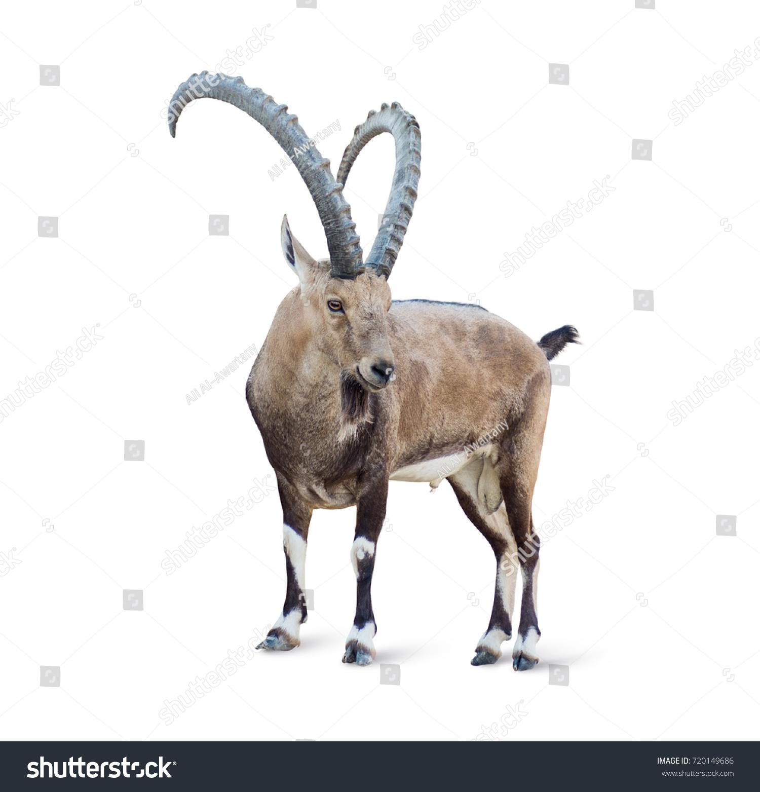stock-photo-alpine-ibex-isolated-on-whit