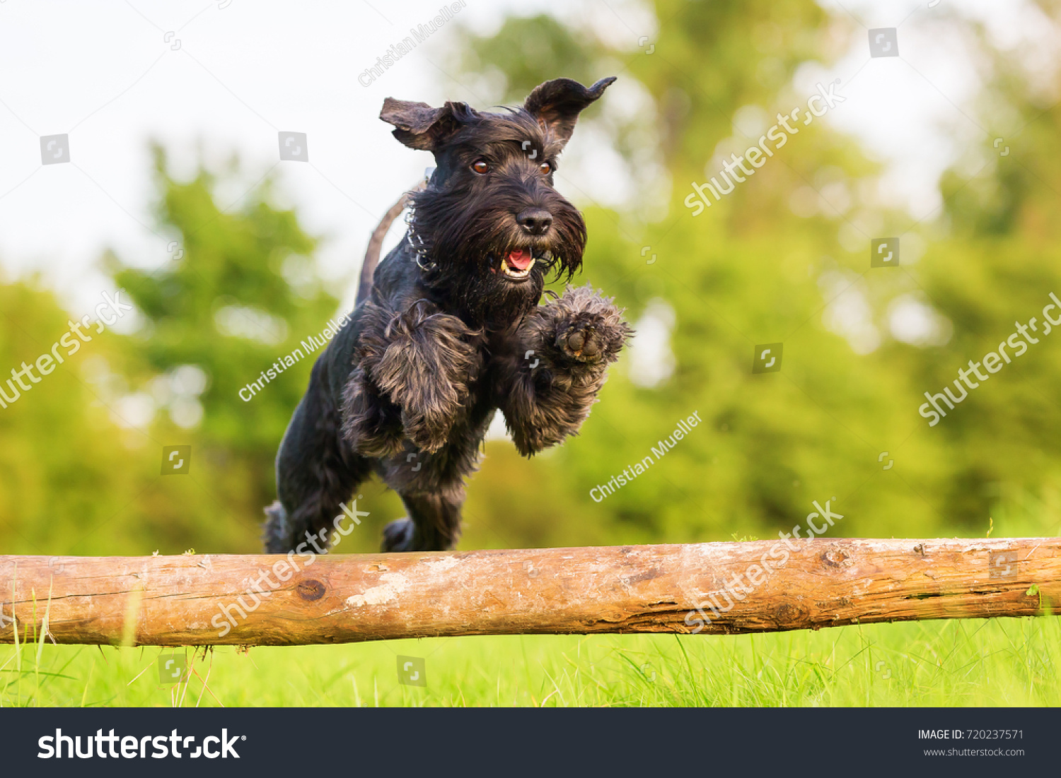 Picture of a standard schnauzer who jumps over a wooden beam #720237571