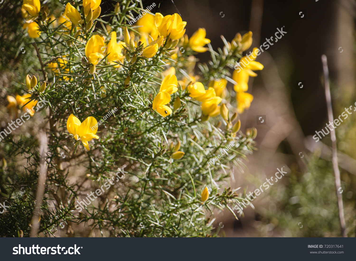 Flowering Common Gorse Ulex Europaeus Spiky Stock Photo Edit Now