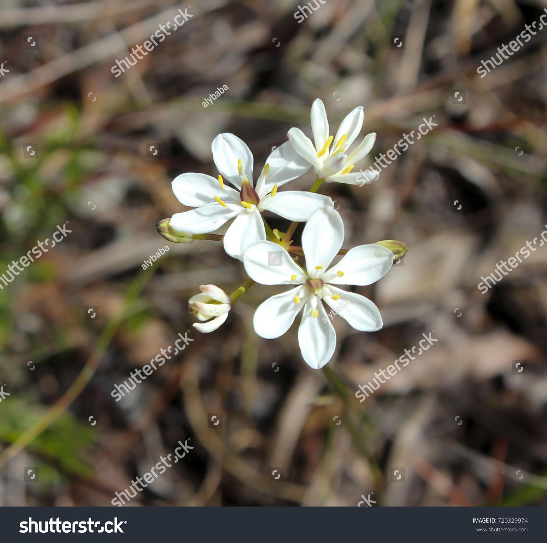 Beautiful White Flowers Burchardia Congesta Milkmaids Stock Photo