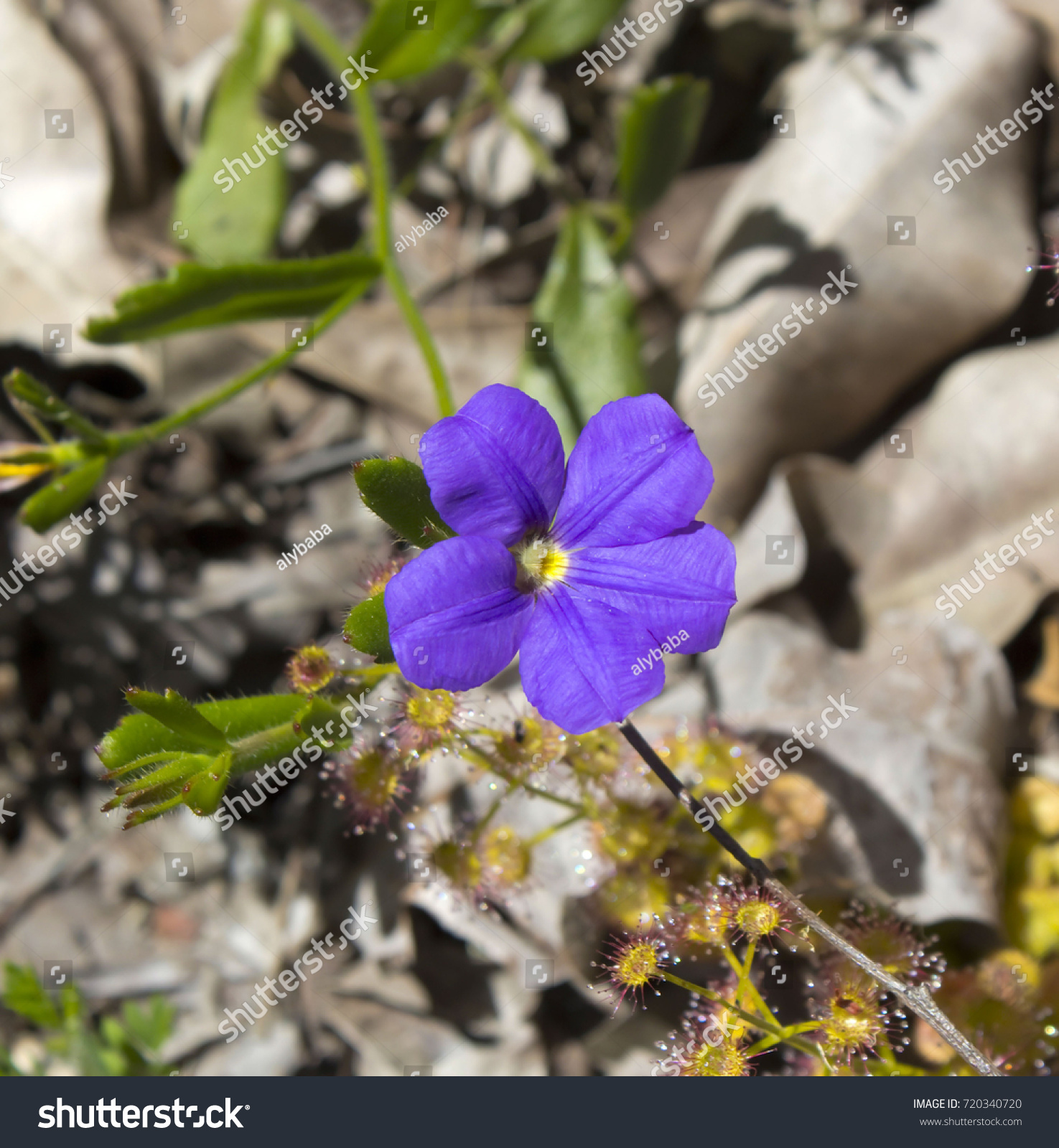 Scaevola Calliptera Royal Robe Purple Five Stock Photo Edit Now
