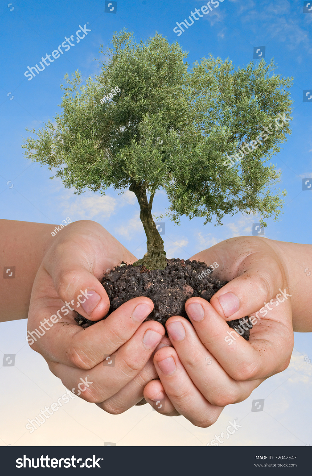 Olive tree hands symbol nature protection stock photo 72042547 olive tree in hands as a symbol of nature protection buycottarizona Choice Image