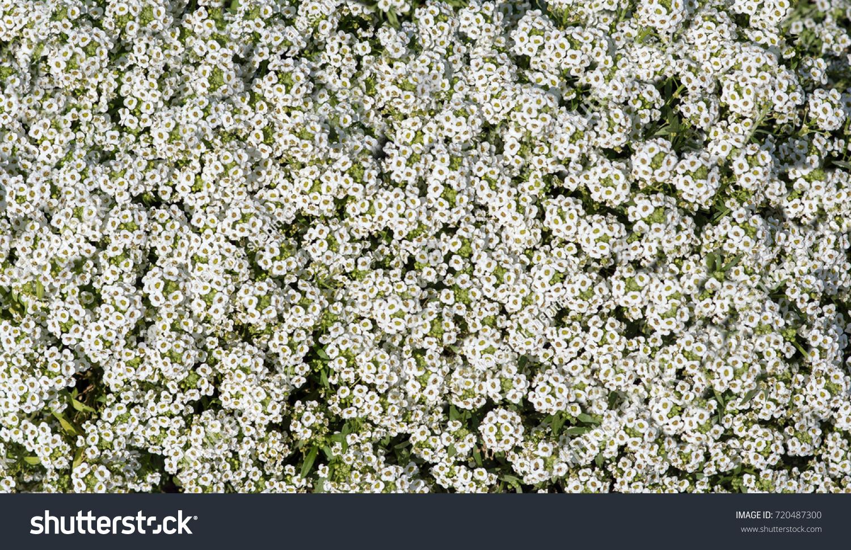 Shrub Small White Flowers Background White Stock Photo Edit Now