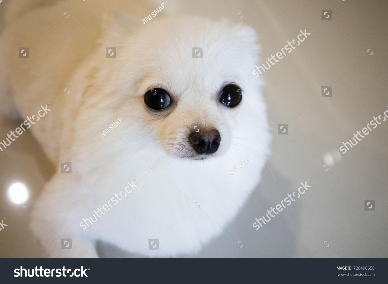 Cute White Puppy Stock Shutterstock