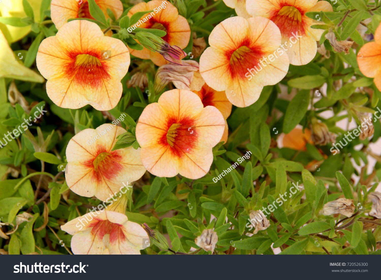 Calibrachoa Minifamous Orange Red Mini Petunia Stock Photo Edit Now