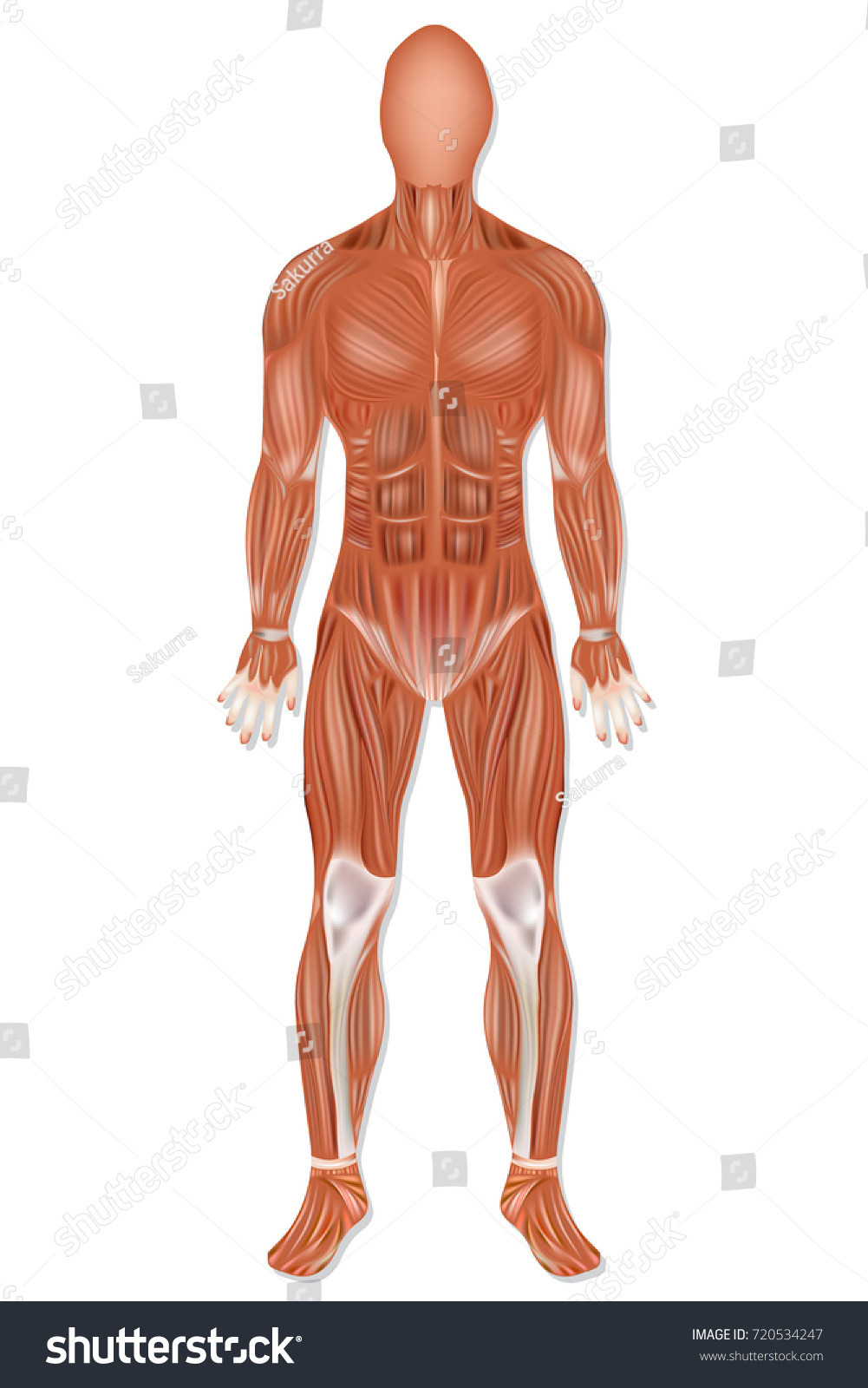 Human Muscle Anatomy Man Muscular System Stock Vector Royalty Free