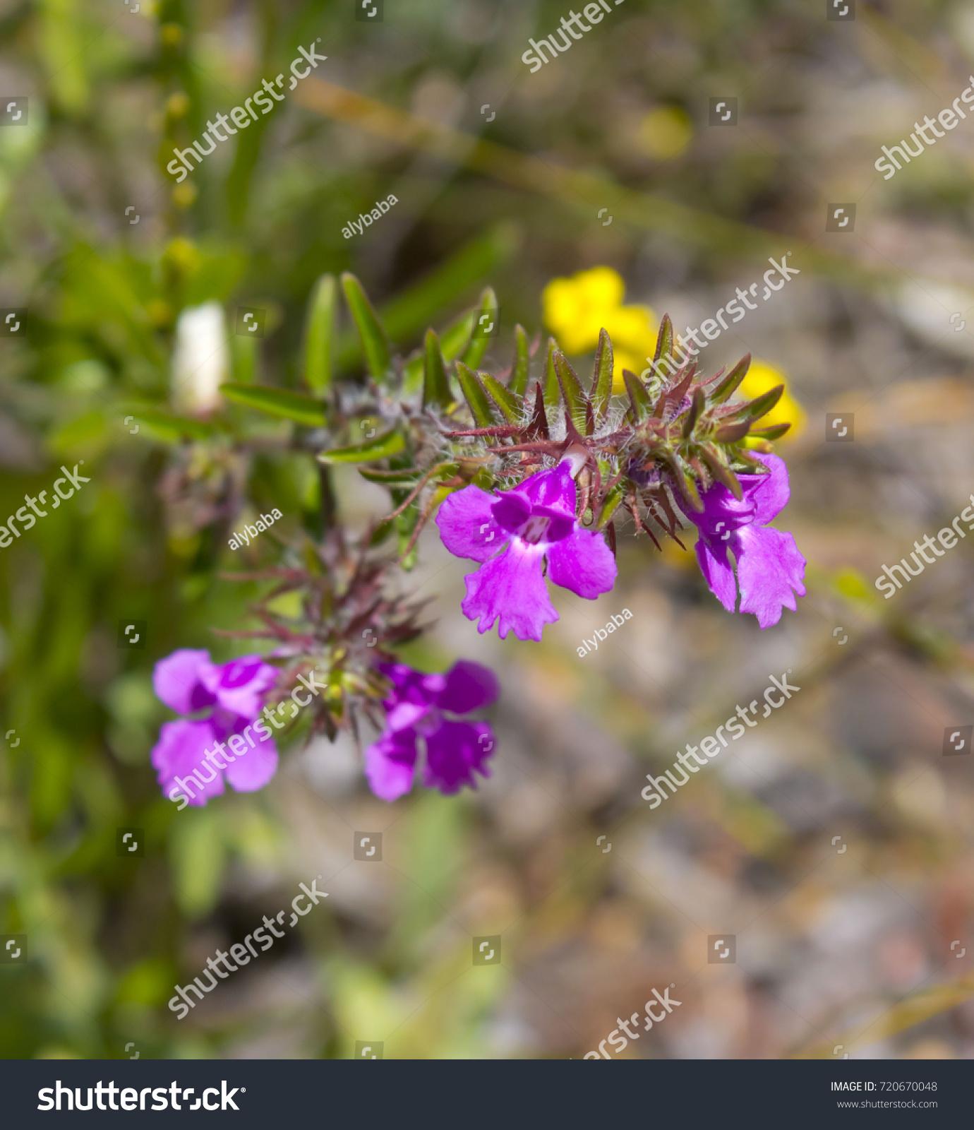 Pretty Pink Flowers Hemigenia Genus Flowering Stock Photo Edit Now