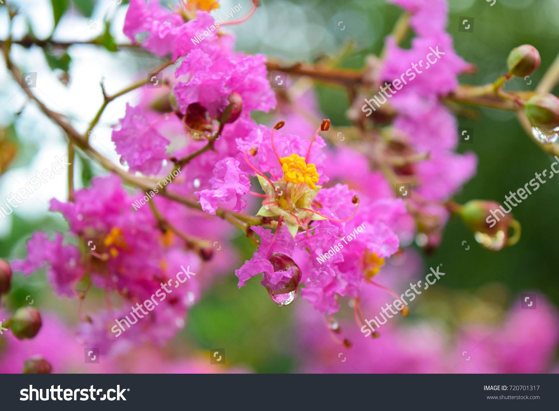 Bush Bright Pink Flowers Drop Rain Stock Photo Edit Now 720701317