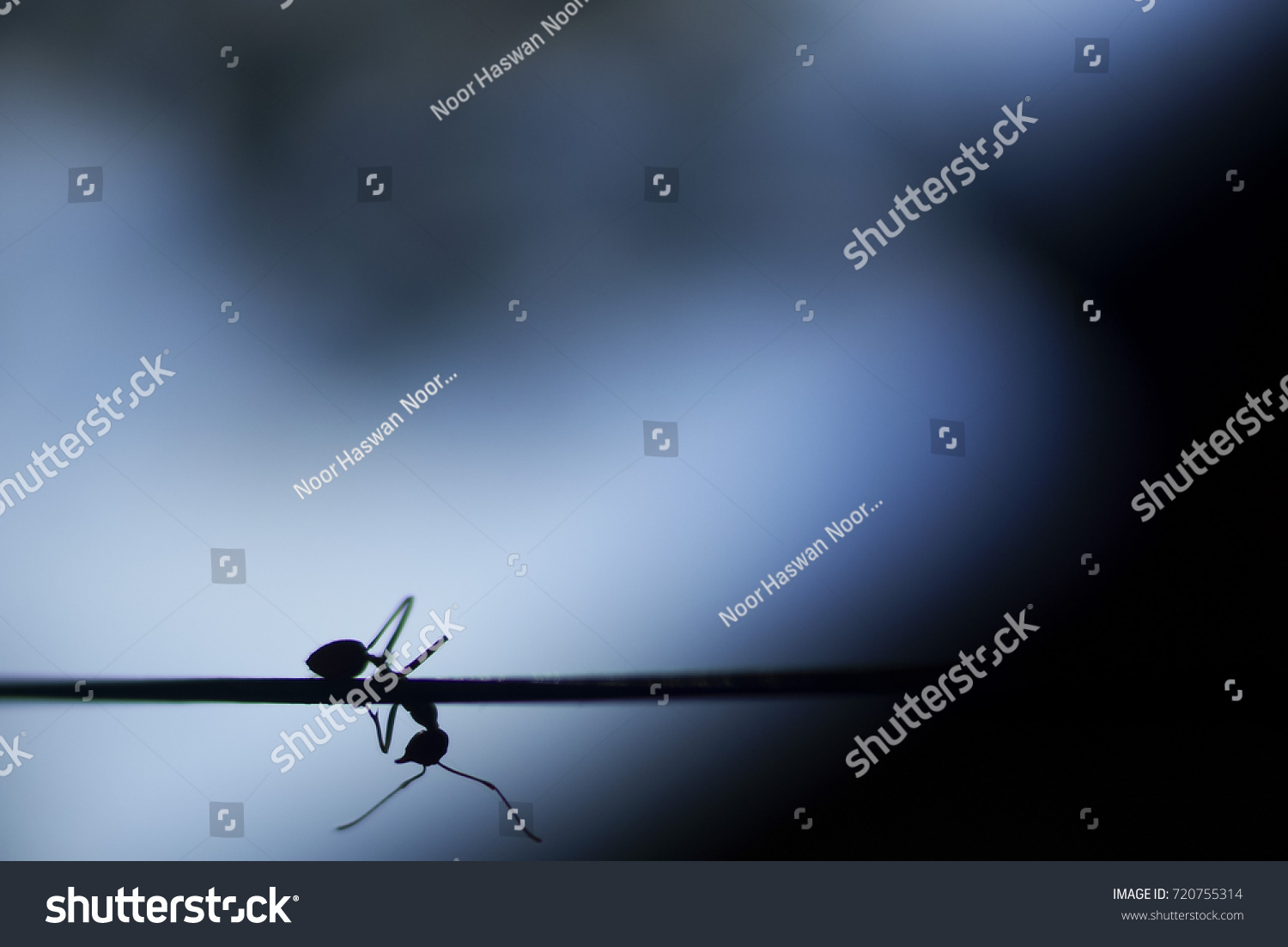 Fire Ants Silhouette Crossing Wire Dark Stock Photo (Royalty Free ...