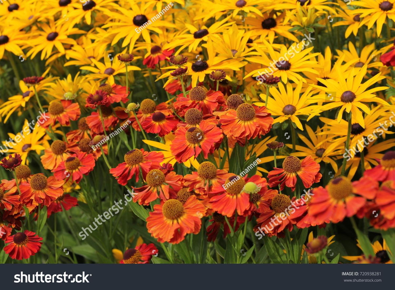 Autumn Red Orange Daisy Like Flower Stock Photo Royalty Free