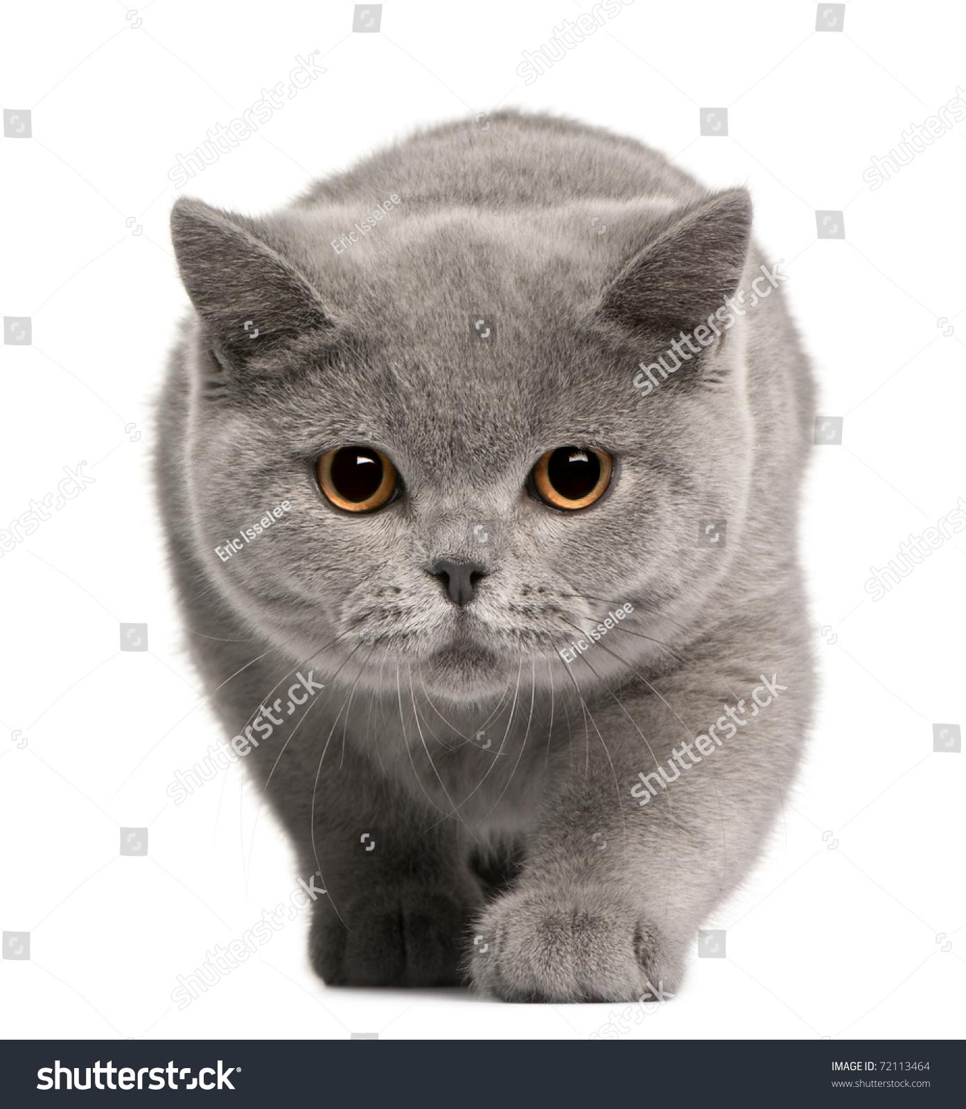 British Shorthair Kitten 4 Months Old Stock
