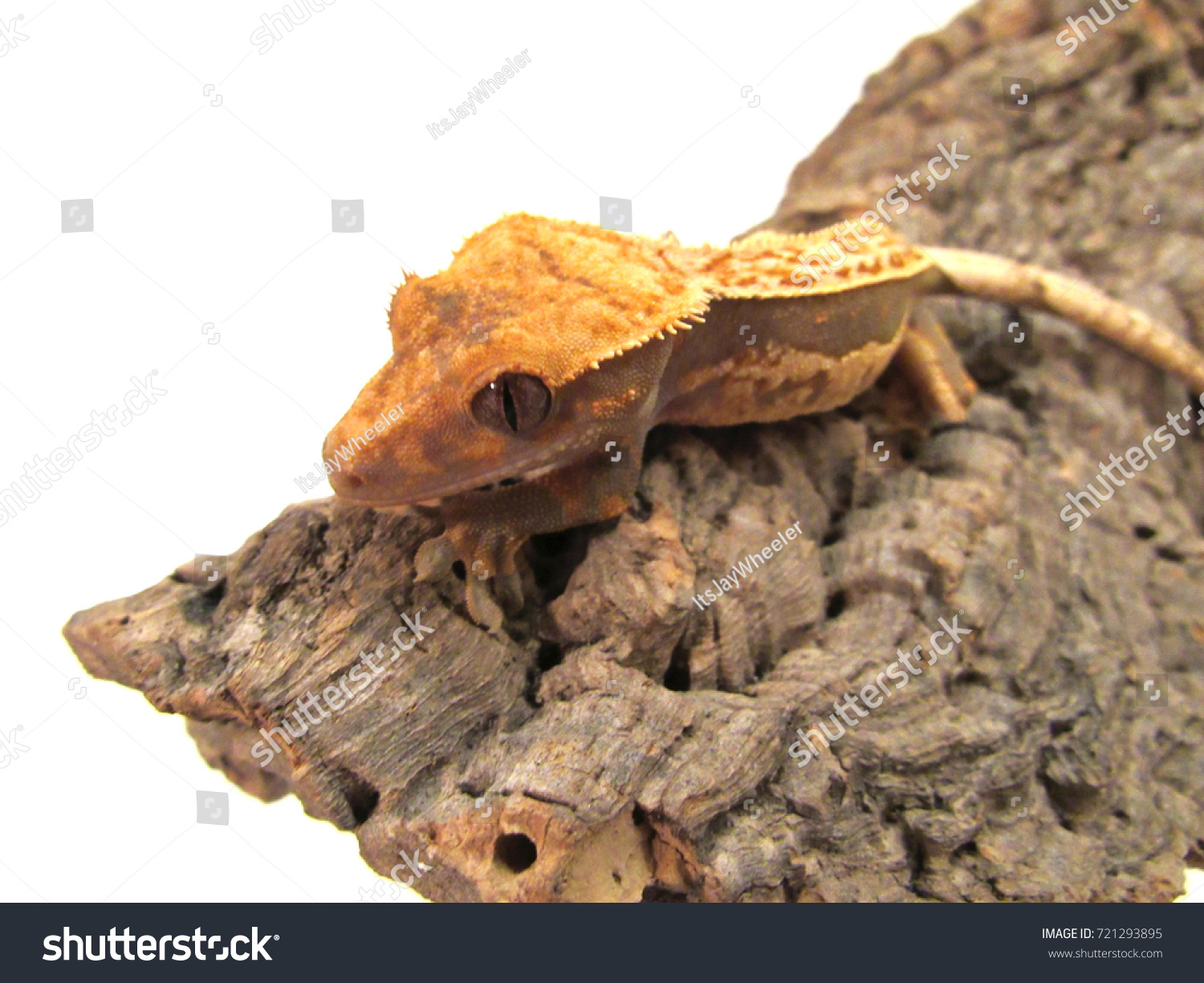 Correlophus Ciliatus Crested Eyelash Gecko Stock Photo Edit Now