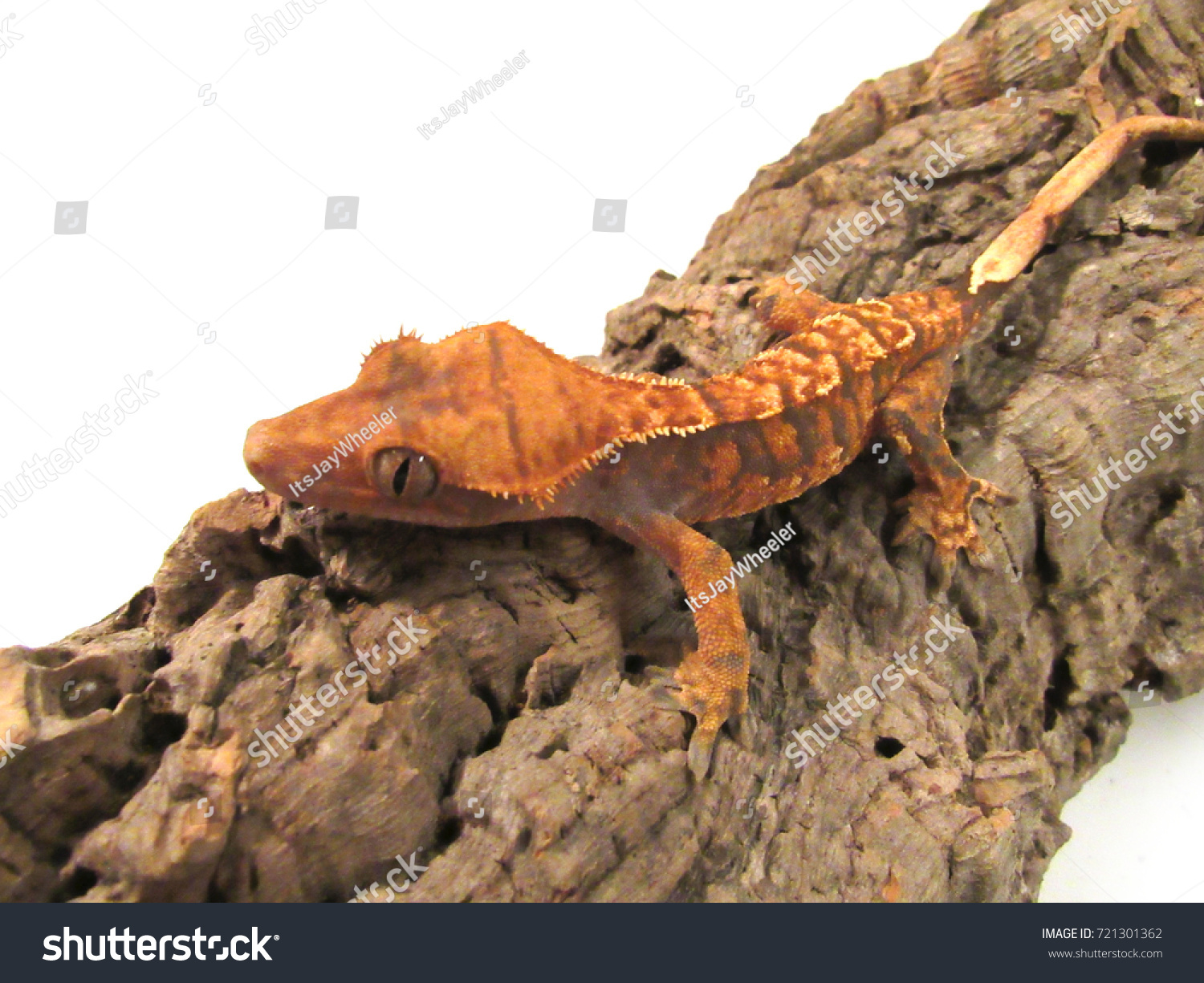 Correlophus Ciliatus Crested Eyelash Gecko On Stock Photo Edit Now