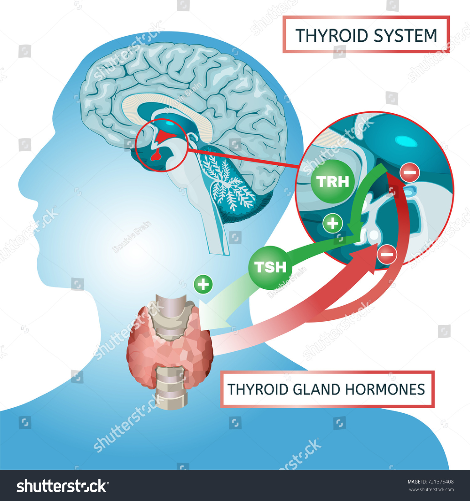 Thyroid System Vector Illustration Medical Anatomy Stock Vector ...