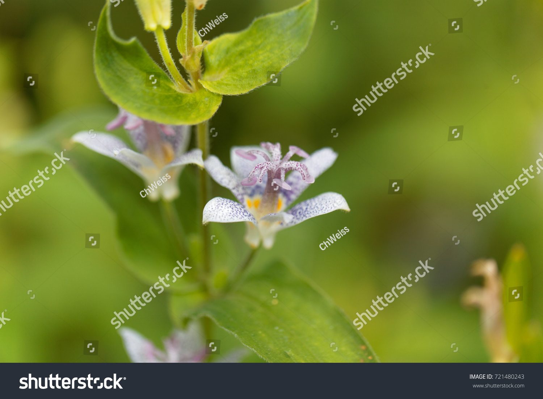 Macro photo of a toad lily flower tricyrtis hirta ez canvas id 721480243 izmirmasajfo