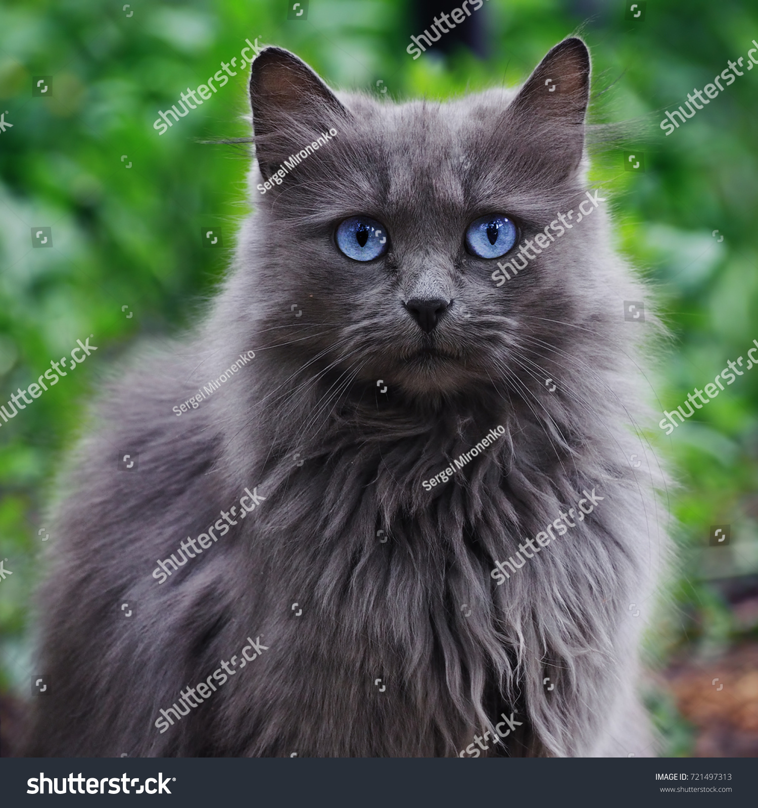 Grey Cat Blue Eyes Looking Camera Stock Shutterstock