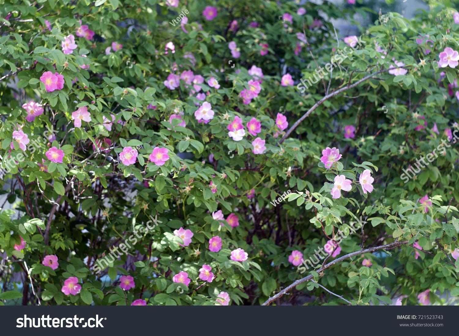 Bushes Of Rose Hips With Pink Flowers In The Sunlight Summer