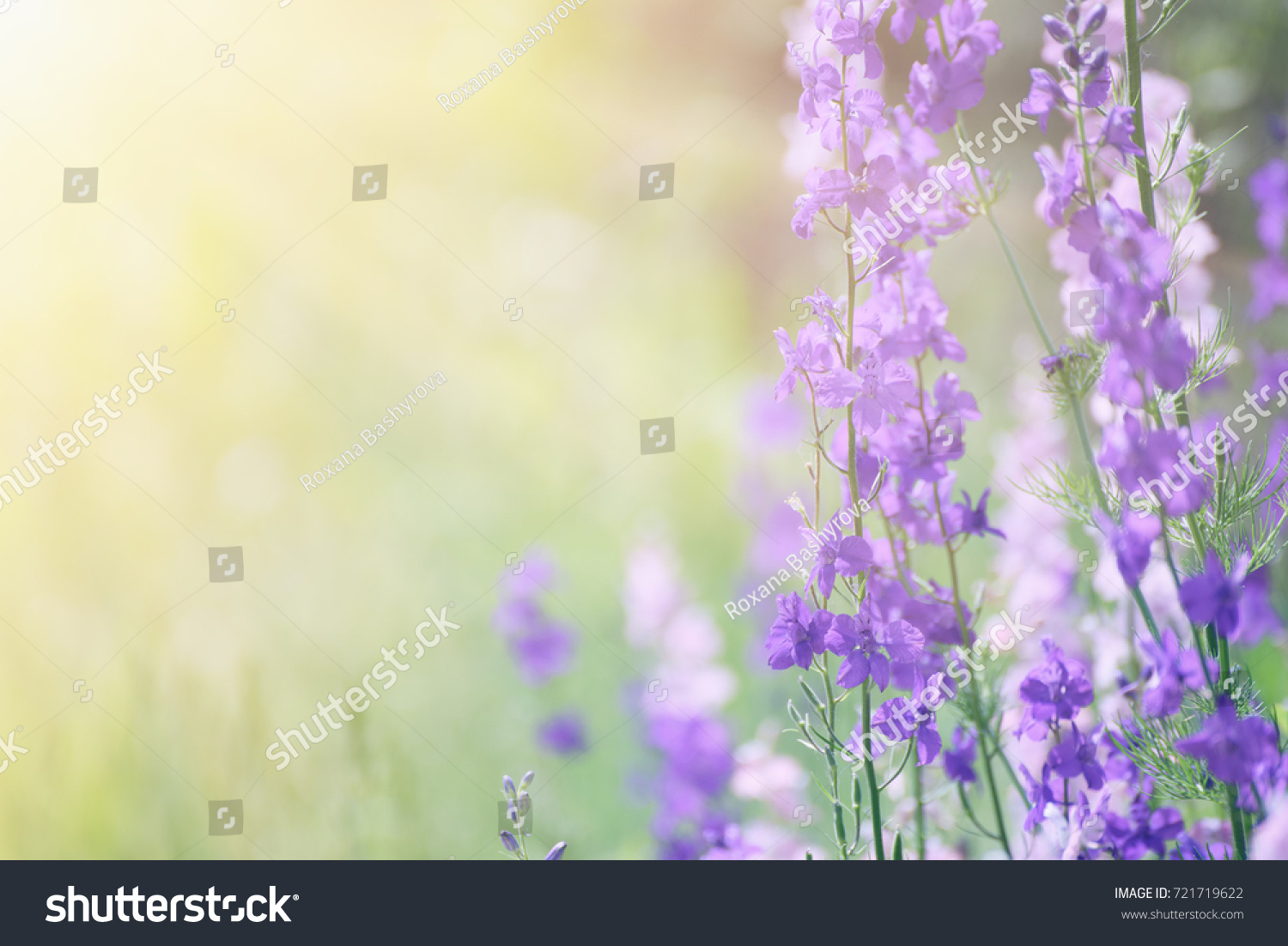 Lavender fields background blue picturesque violet www lavender field floral summer or spring background field with lavender flowers and beautiful bokeh lights ez izmirmasajfo