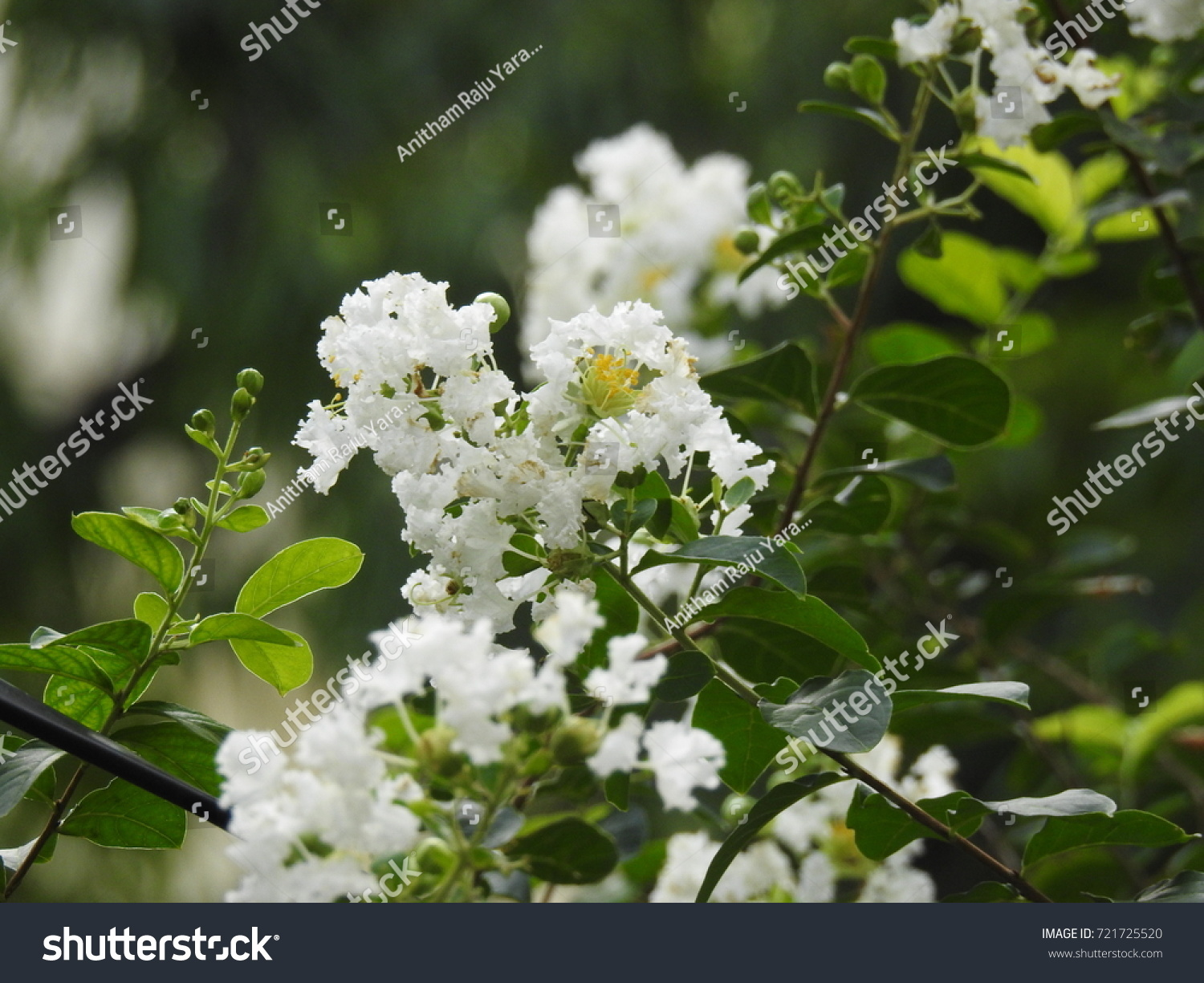 Beautiful White Flower With Green Leafs White Bell Flower Ez Canvas