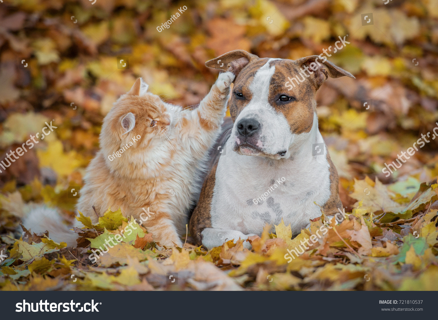 Funny Cat Playing Dog Autumn Stock Shutterstock
