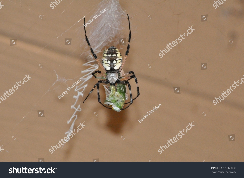Garden spider dining on a cicada on it\'s web | EZ Canvas