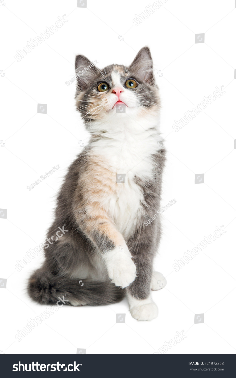 Cute Little Playful Kitten Calico Longhaired Stock