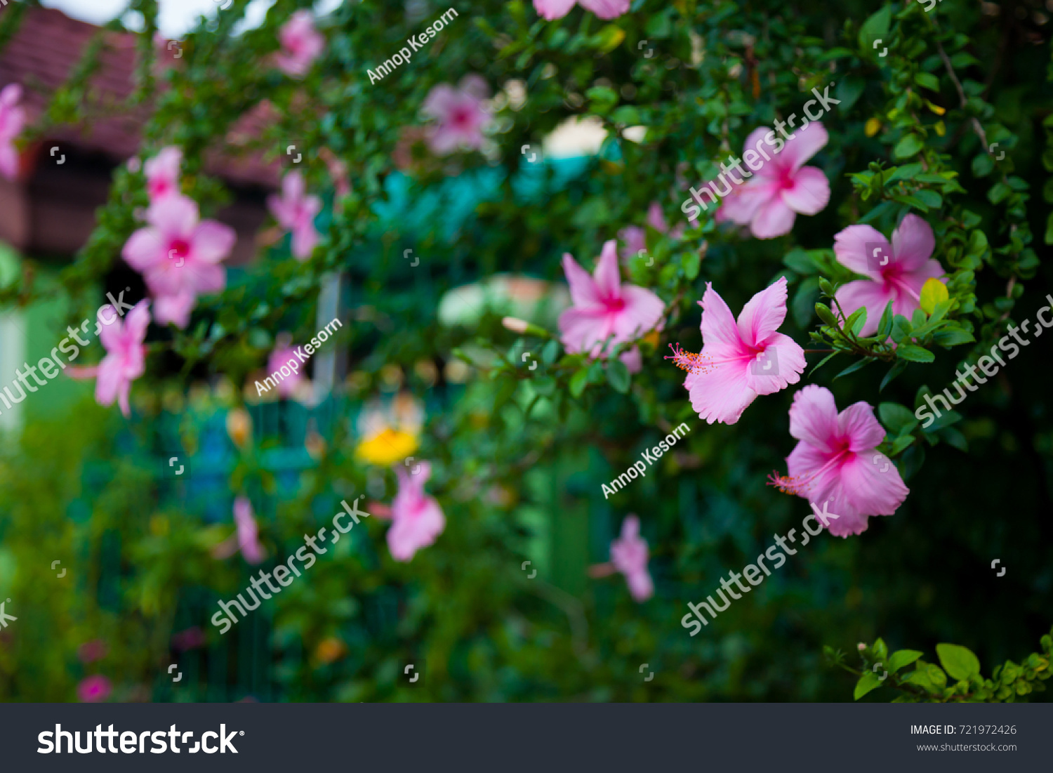 Hibiscus Flowers On Trees Bright Colors Stock Photo 721972426 ...