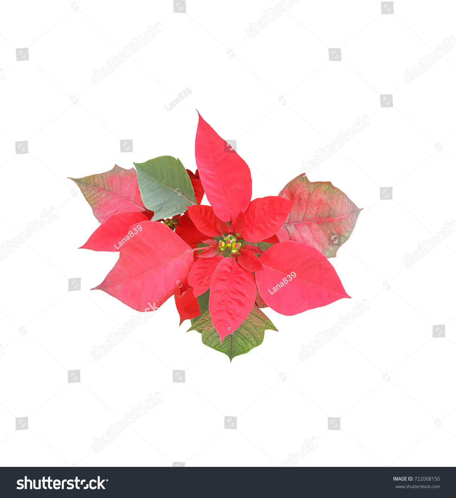 Beautiful Red Christmas Flower Isolated On White Background Ez Canvas