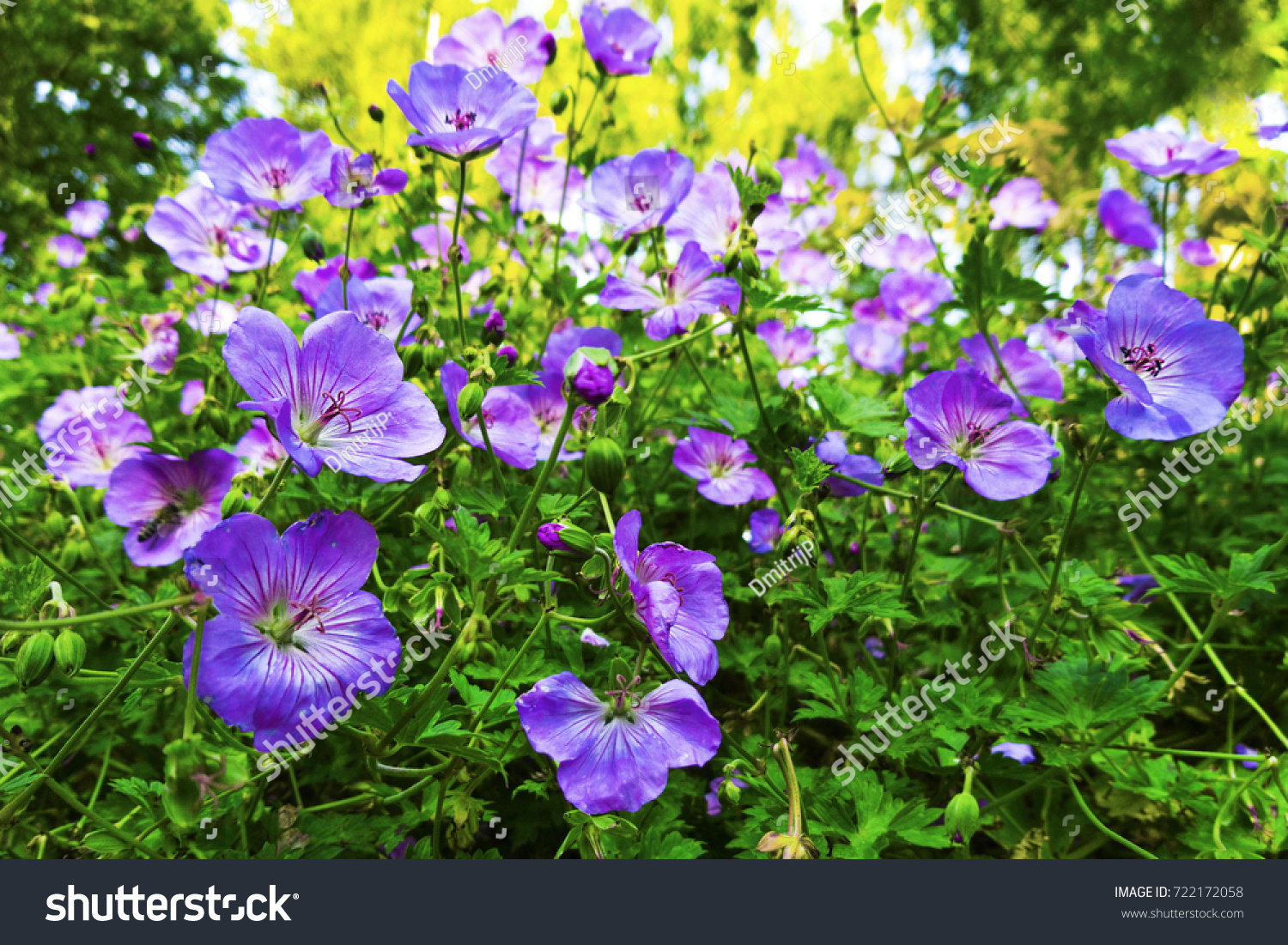 A Lot Of Small Purple Flowers Very Beautiful Ez Canvas