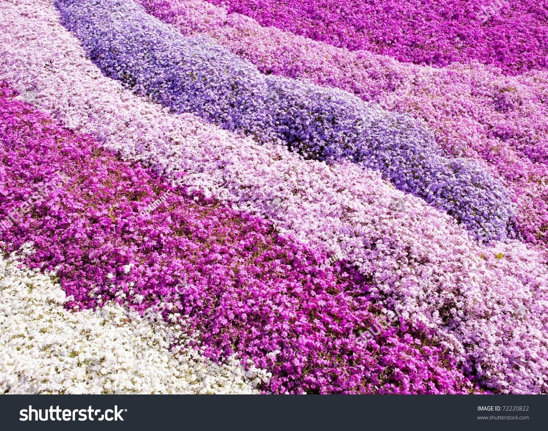 Purple Carpet Flowers Field Moss Phlox Stock Photo