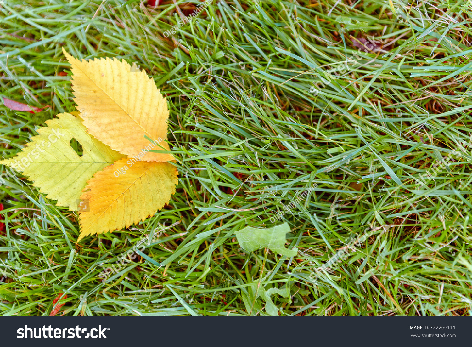 Green Tilia Linden Tree Leaves Natural Stock Photo (Royalty Free ...