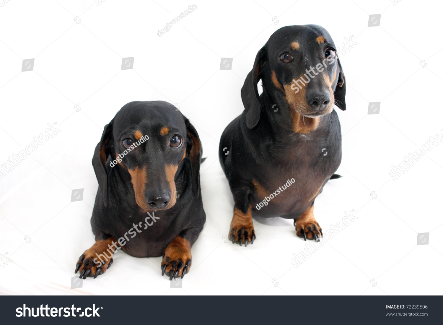 Pictures Of Black Dachshund Dogs