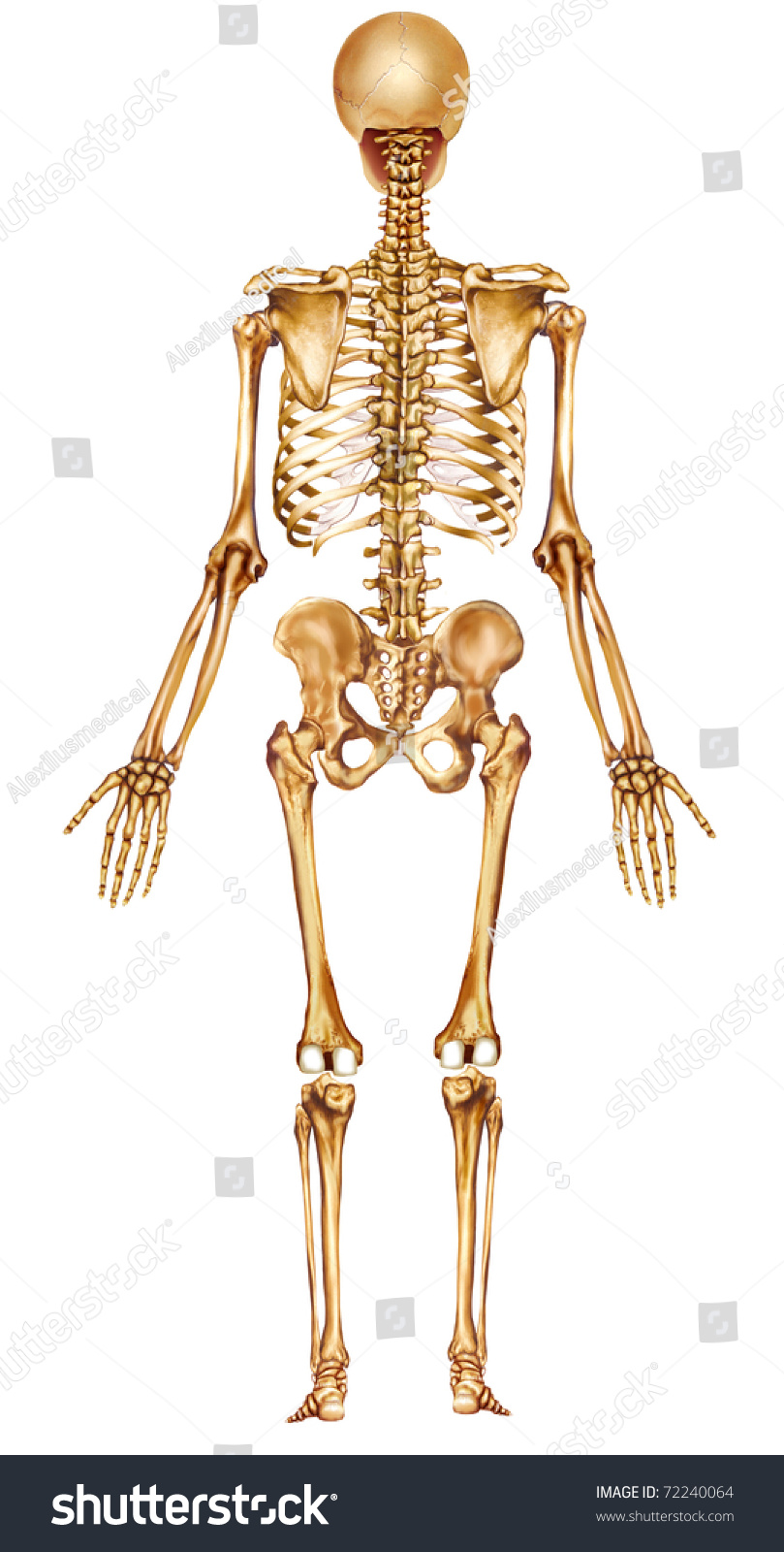 rear view human skeleton stock illustration 72240064 - shutterstock, Skeleton