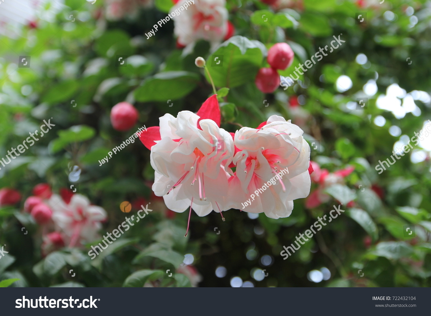 One most beautiful flowers begonia garden stock photo safe to use one of the most beautiful flowers in begonia garden of nabana no sato flower park in izmirmasajfo