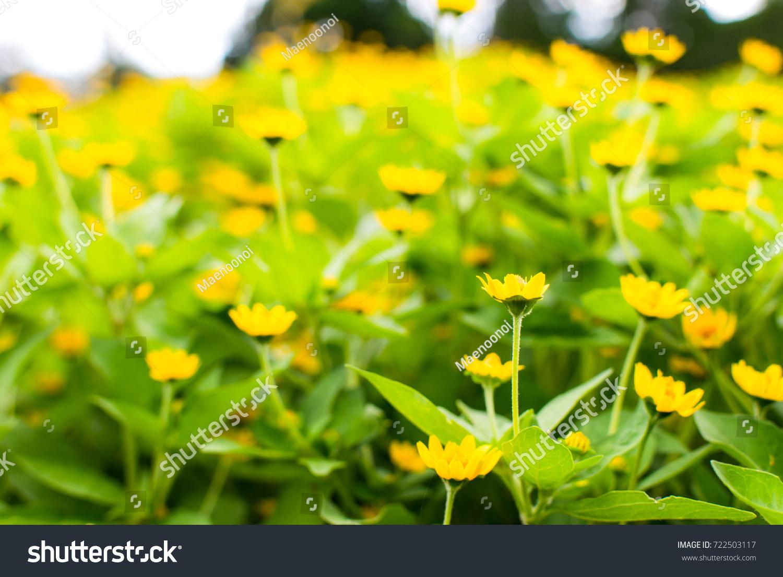 Singapore Daisy Cute Flower Group Yellow Stock Photo Royalty Free