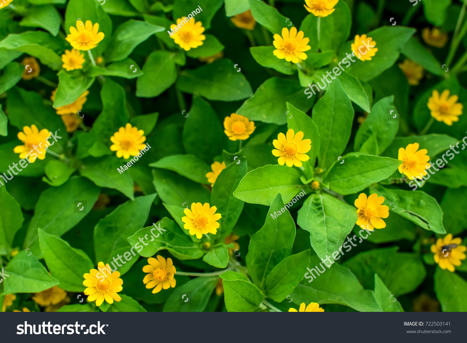 Singapore Daisy Cute Flower Group Yellow Stock Photo Download Now