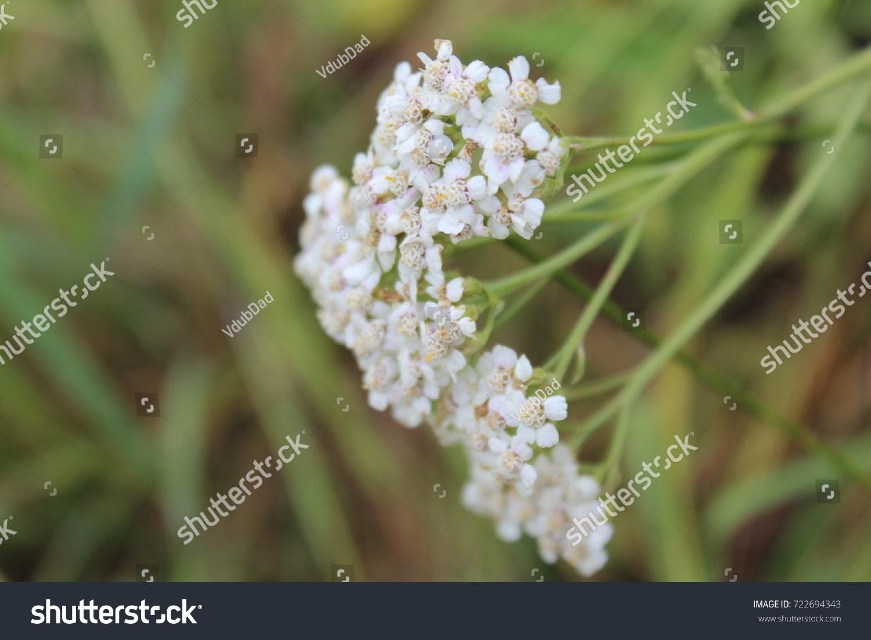 Beautiful White Puffy Flowers Nature Stock Photo Edit Now