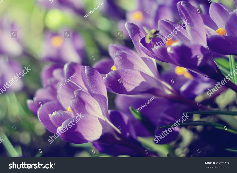 Beautiful first spring flowers crocuses bloom under bright sunlight beautiful first spring flowers crocuses bloom under bright sunlight ez canvas mightylinksfo