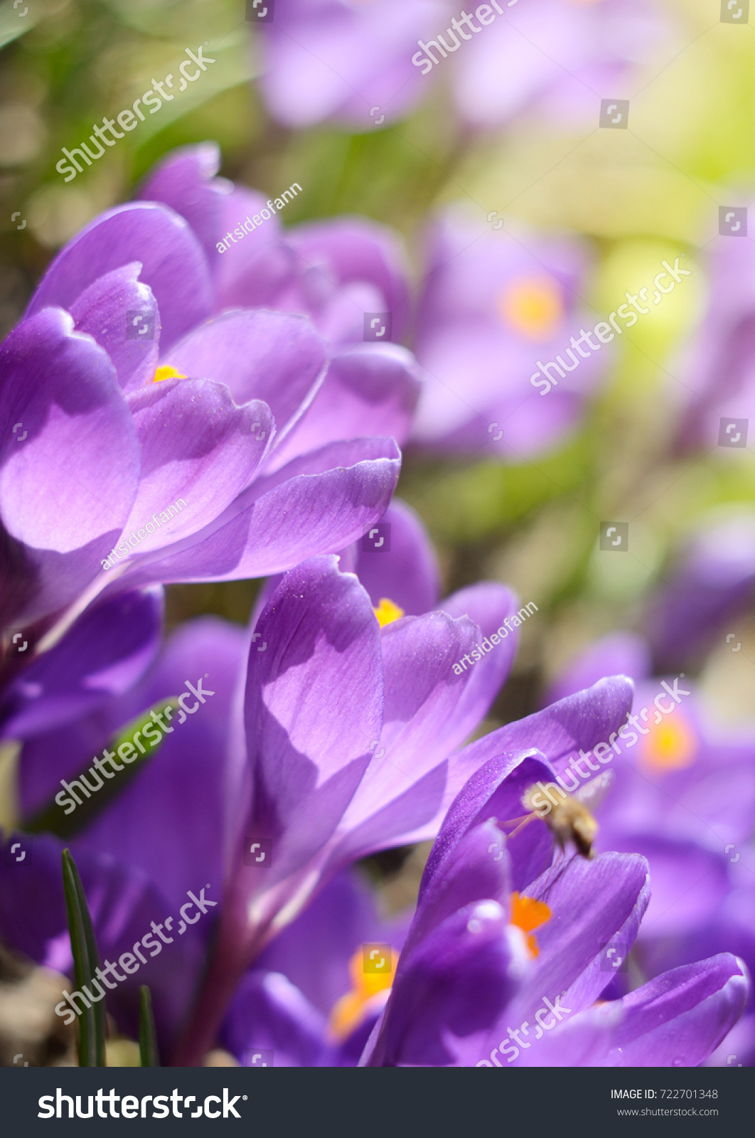 Beautiful first spring flowers crocuses bloom under bright sunlight id 722701348 mightylinksfo