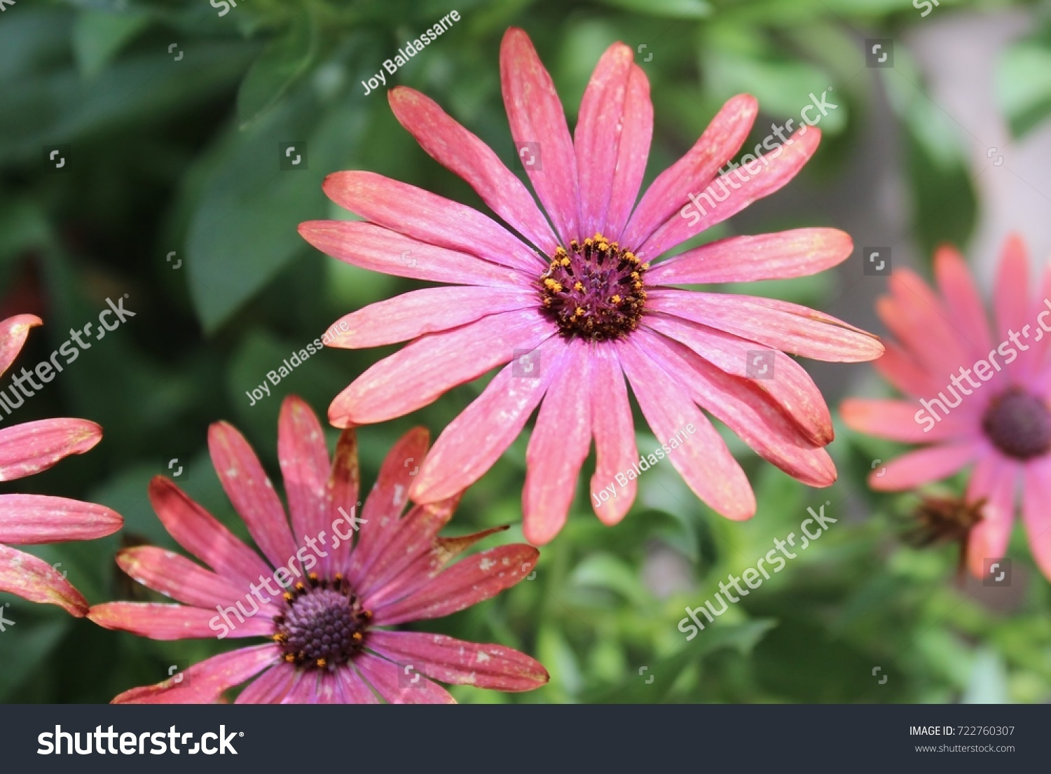 Fresh purple pink daisy gerbera flower ez canvas izmirmasajfo