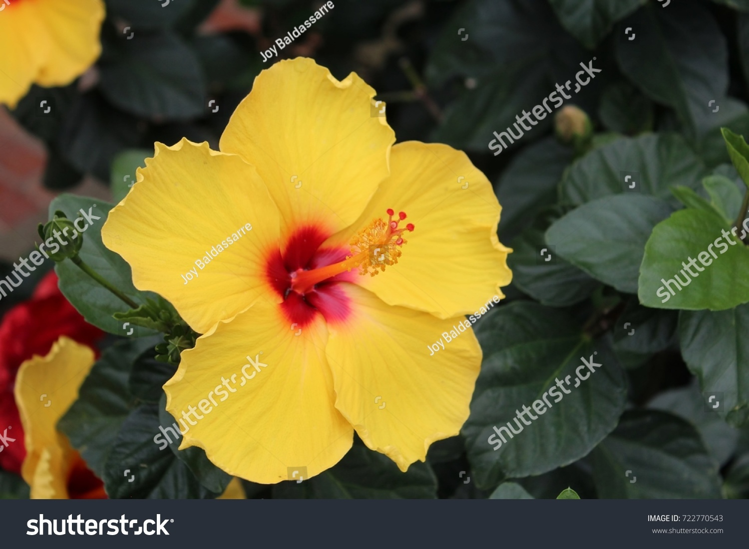 Chinese Hibiscus Ez Canvas