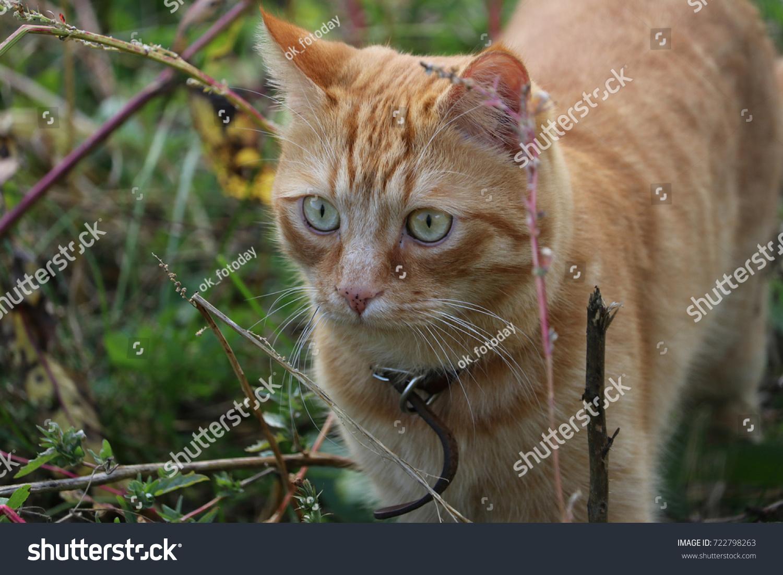 stock-photo-indoor-red-cat-walking-in-th