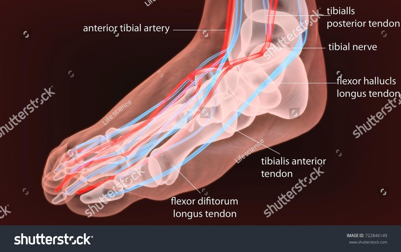 3 D Illustration Human Body Feet Bone Stock Illustration 722846149 ...