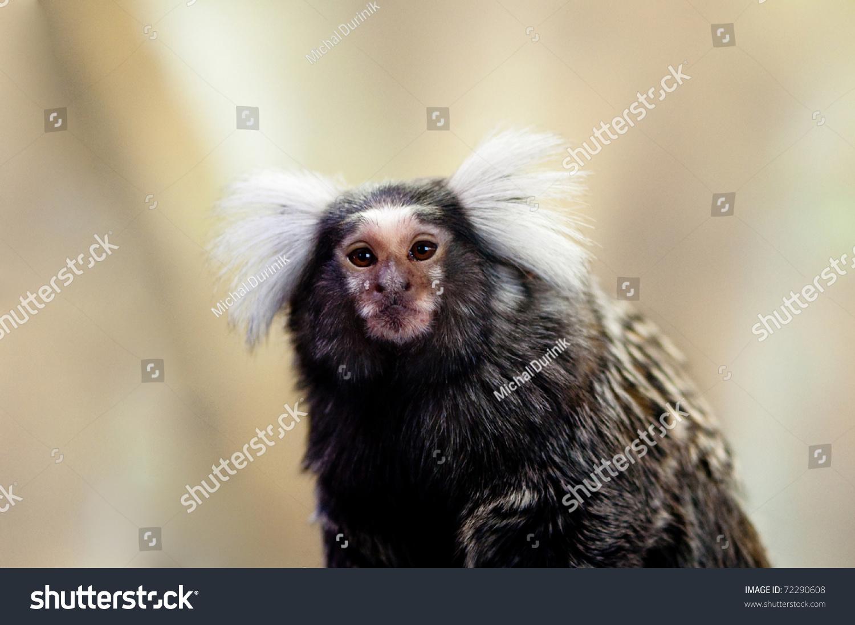Small Marmoset Monkey Riddiculously Hairy Ear Stock Photo Edit Now